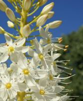 Desert candle (Eremurus himalaicus)